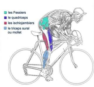 les muscles utiles en vélo